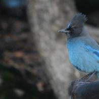 Stellar-Blue Jay